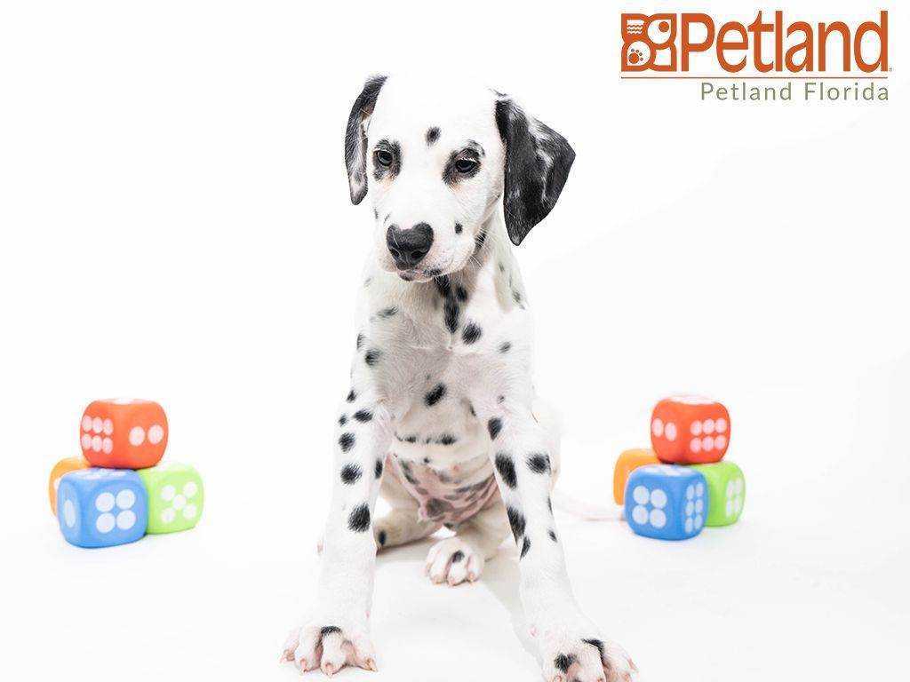 Petland Florida has Dalmatian puppies for sale! Check out