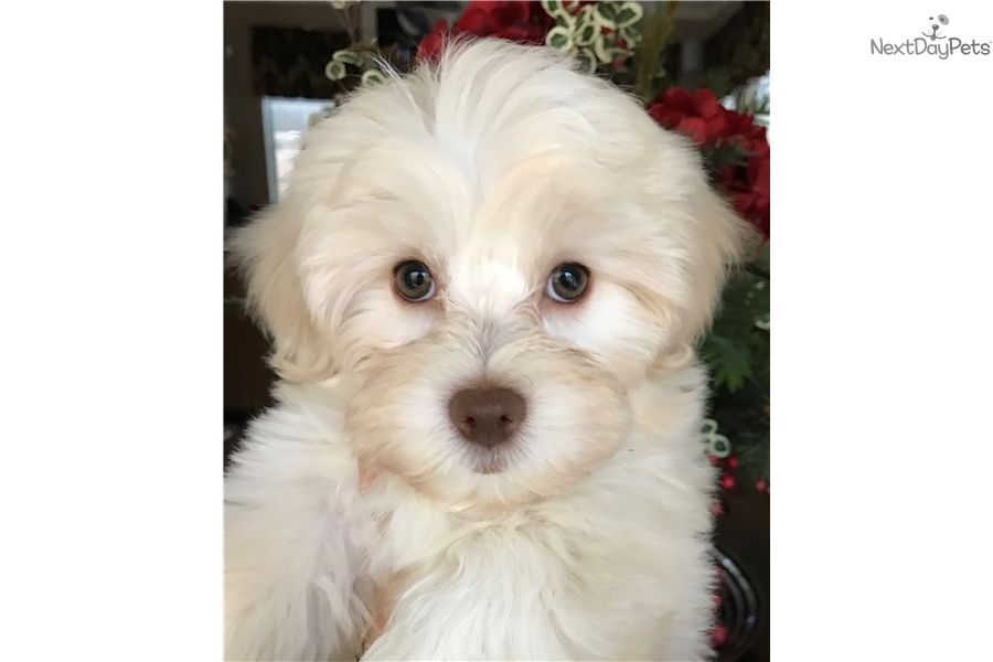 Malti Poo Maltipoo Puppy For Sale Near Dallas X2f Fort Worth Texas 60d80ab3 F961 Maltipoo Maltipoo For Sale Maltipoo Puppies For Sale