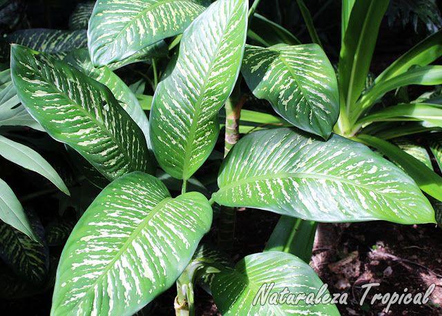 Planta ornamental conocida popularmente como diefembaquia - Plantas venenosas de interior ...