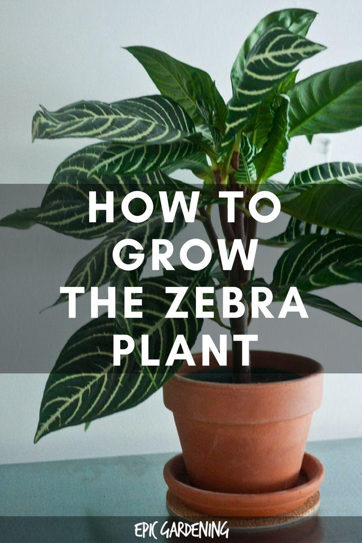 Zebra Plant Care Growing Aphelandra Squarrosa At Home Zebra