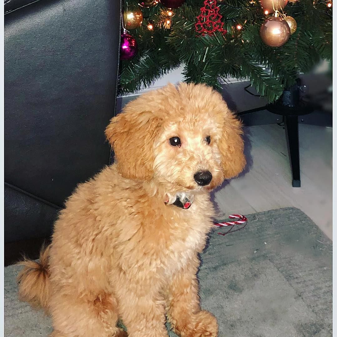 Everything About The Athletic Poodle Puppies Exercise Needs
