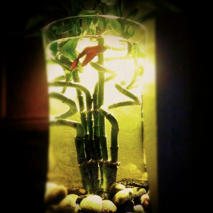 Diy fish tank beta fish lucky bamboo sanity projects for Betta fish tank decorations