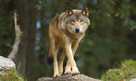 1000  images about Wolves and Woofs on Pinterest | Arctic wolf ...