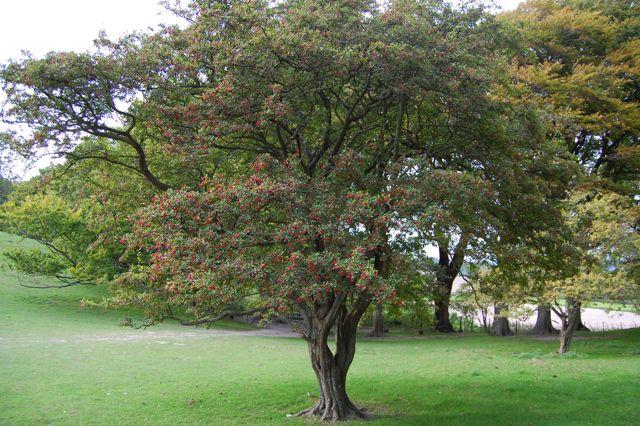 Hawthorn in autumn branch Pinterest