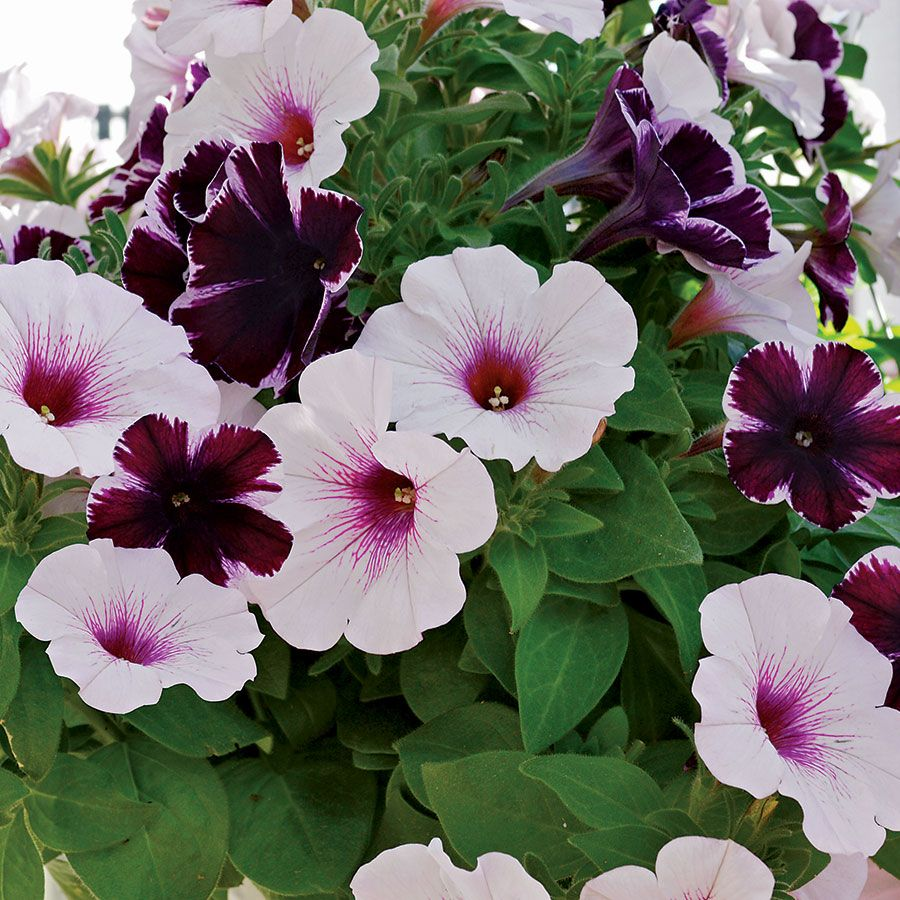 Petunia Confetti Garden Marvelous Orchid Duo With Images