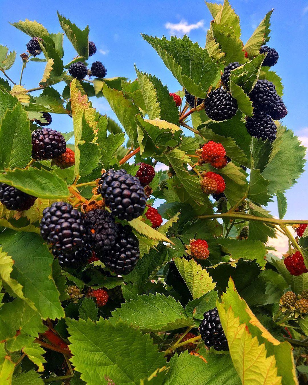 Mure Fructe De Pdure Blackberry Summer Summerfruit Fruit
