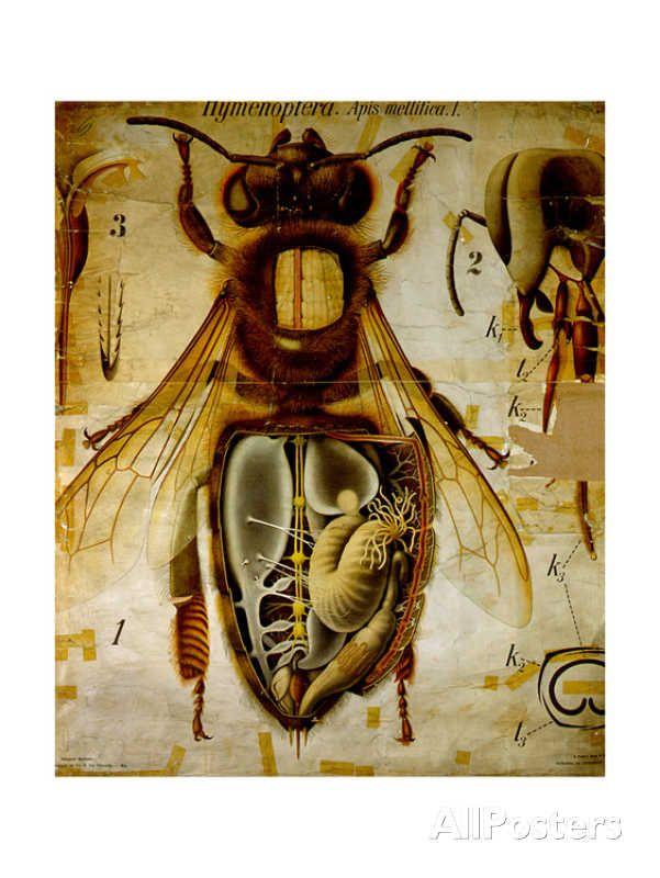 Anatomy Of The Honey Bee No13 Pfurtschellers Zoological Wall