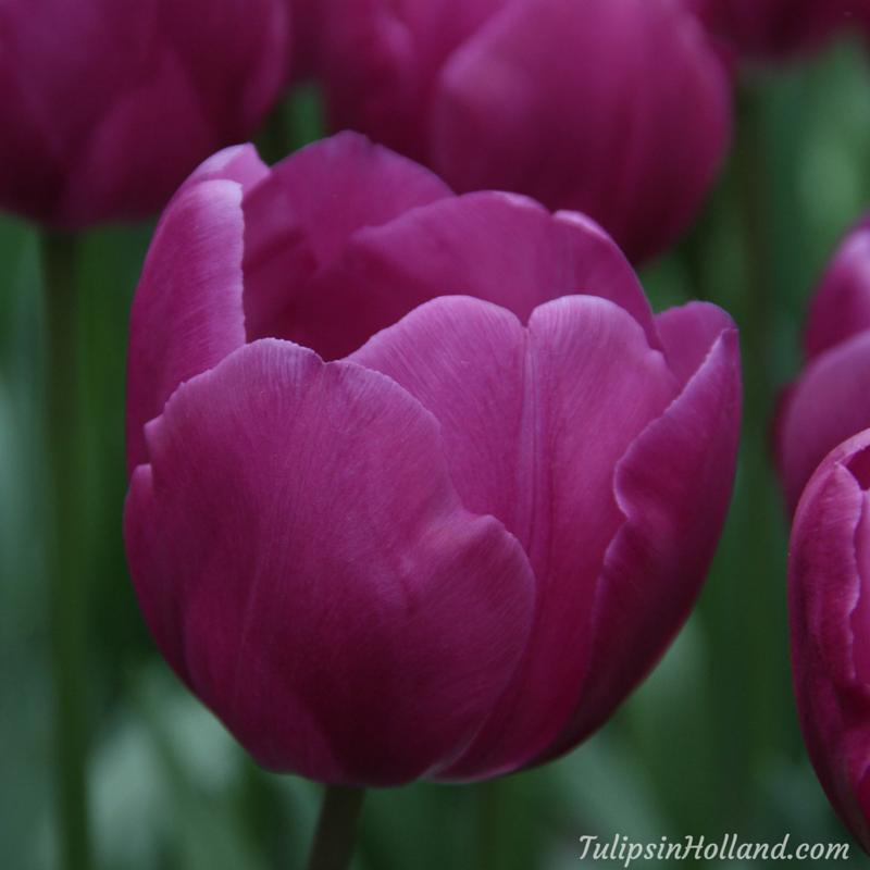 For All Purple Lovers Tulip Dea Tulips Holland Bulb Flowers Purple Tulips