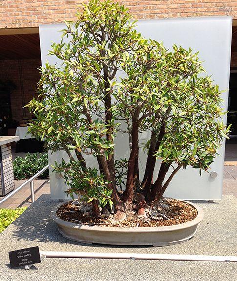 Willow Leaf Fig Bonsai Clump Style Bonsai Bonsai Bonsai Garden