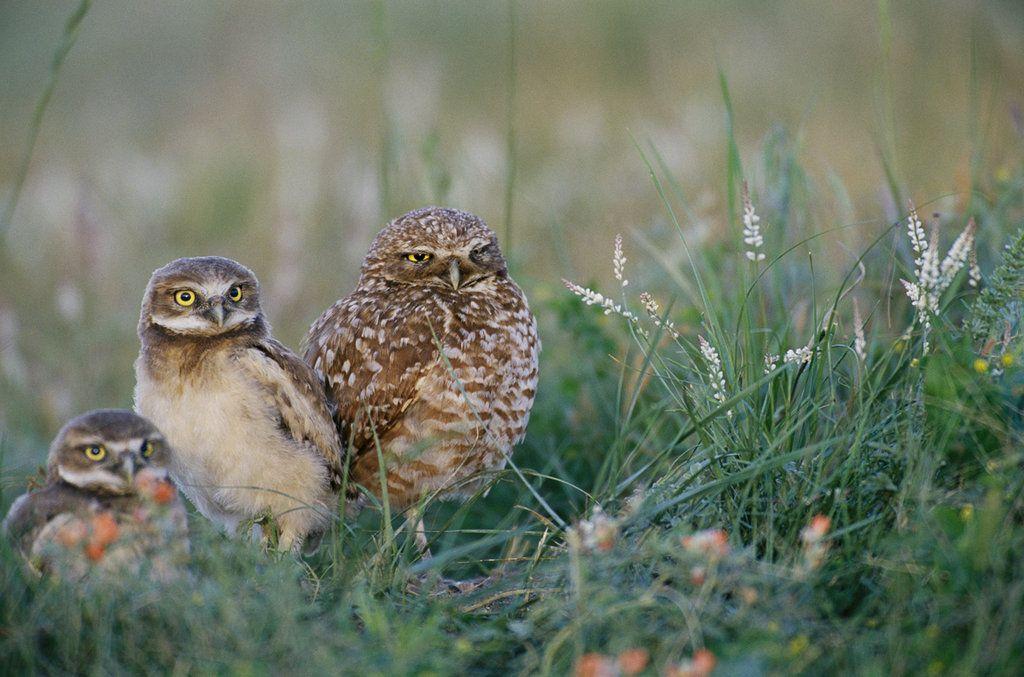 Burrowing owls BirdsofPrey BirdofPrey Bird of Prey
