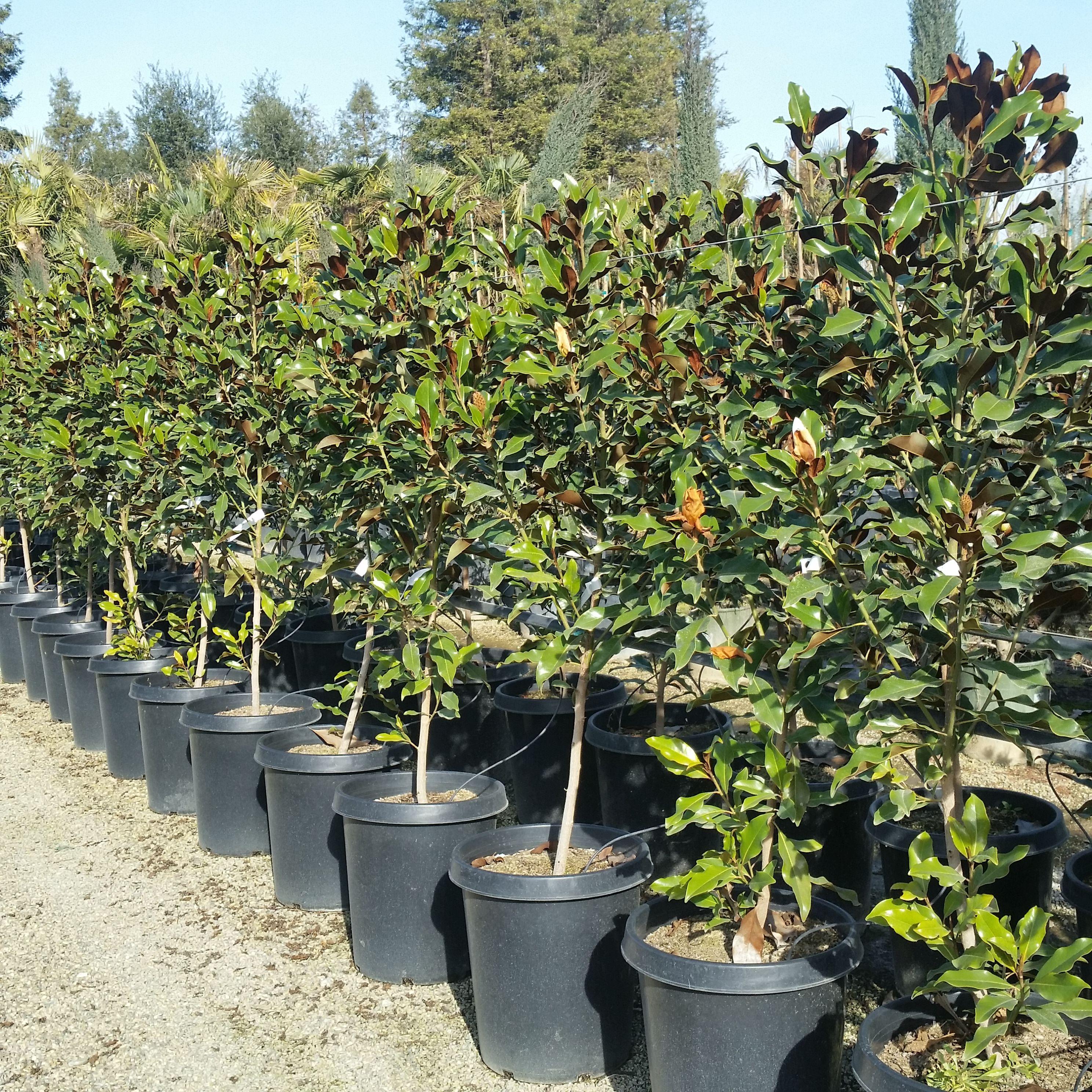Magnolia Grandiflora Kay Parris Dwarf Southern Magnolia Magnolia Grandiflora Southern Magnolia Magnolia