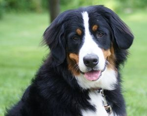 Bernese Mountain Dog Puppies For Sale Bernese Mountain Dog Great Swiss Mountain Dog Bernese Mountain