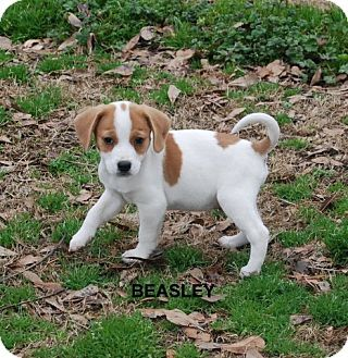 Yardley Pa Beagle Chihuahua Mix Meet Beasley A Puppy For