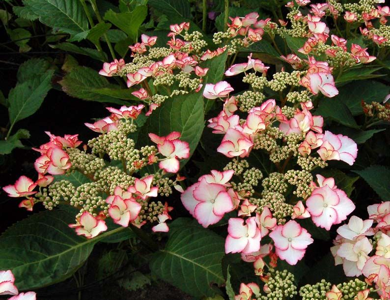 Hydrangea macrophylla 'Love you Kiss' - hortensia kopen   Maréchal