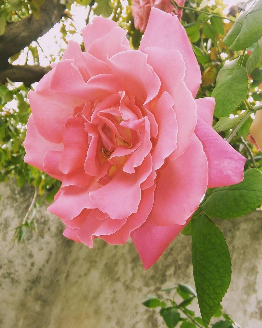 Grunge Naturaleza Rosa Rose Photography Green Flowers Pink Girls Arte Tumblr Nature Animal Fauna Flores Farm Garden