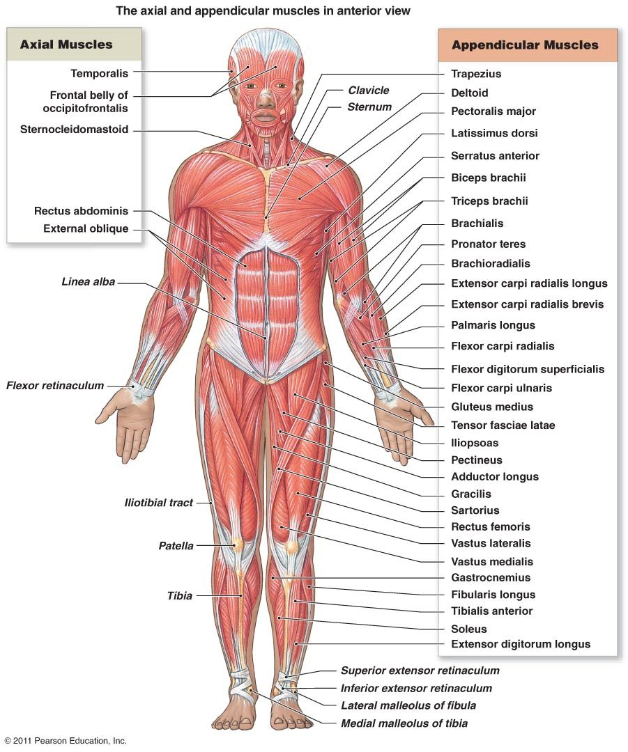 Muscle Diagram 06 Human Body Muscular System Anatomy