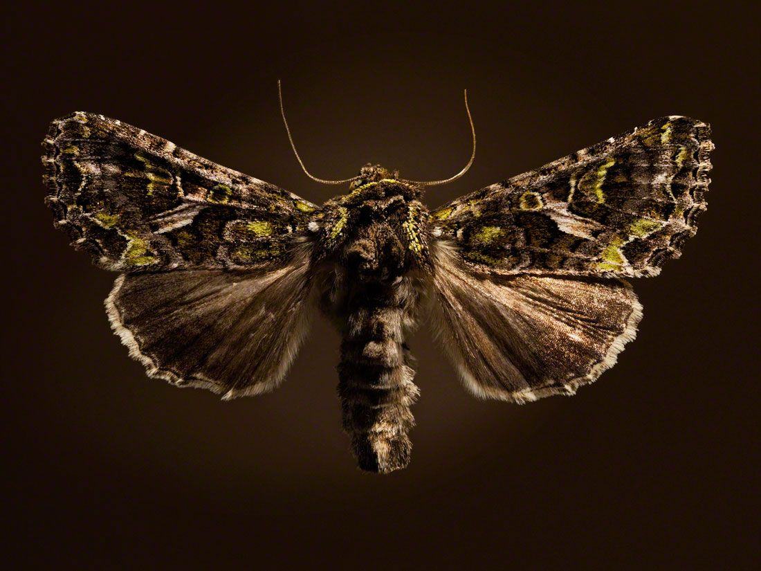 Nachtfalter 5 Manner Leuchten Im Dunkeln Neumann Und Rodtmann Fotografie Falter Nachtfalter Insekten