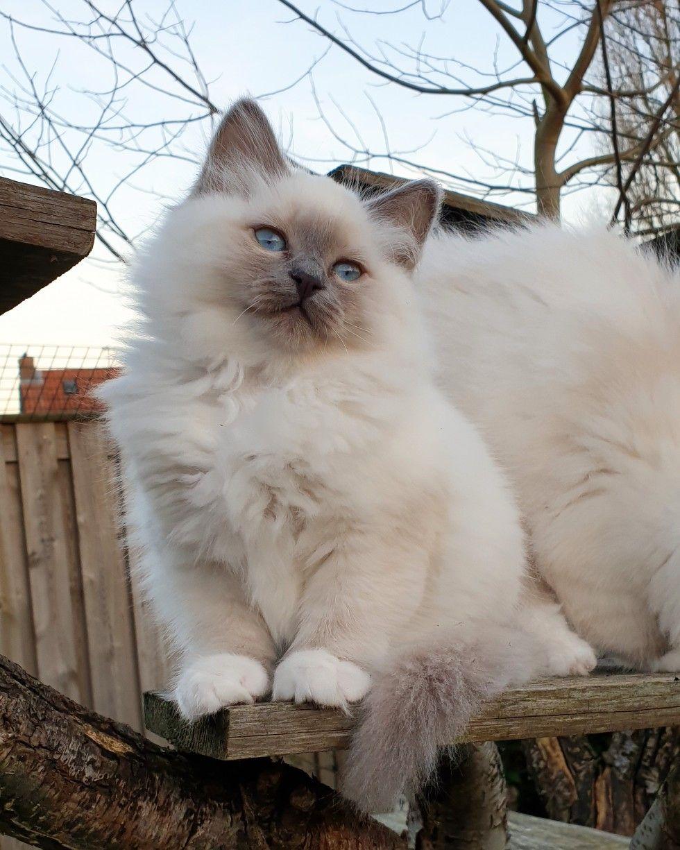 Birman Kitten Miss Di Lily Chintei Blue Point 12 Weeks Old Birman Kittens Birman Cat Cute Cats And Kittens