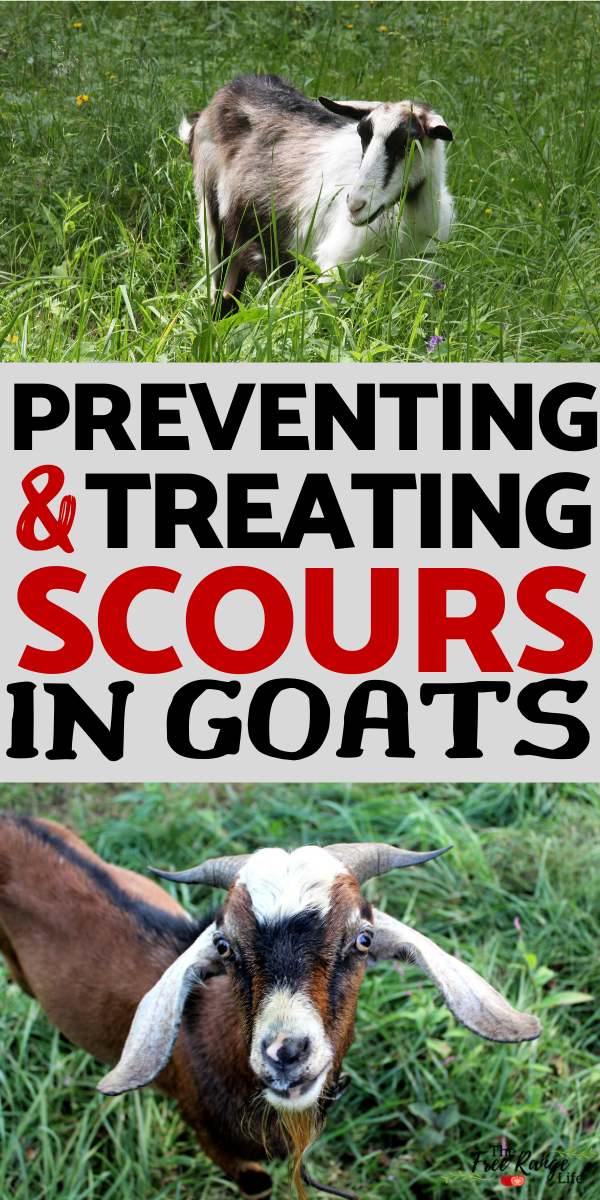 Diagnosing And Treating Scours In Goats In 2020 Goats Raising Goats Goat Health