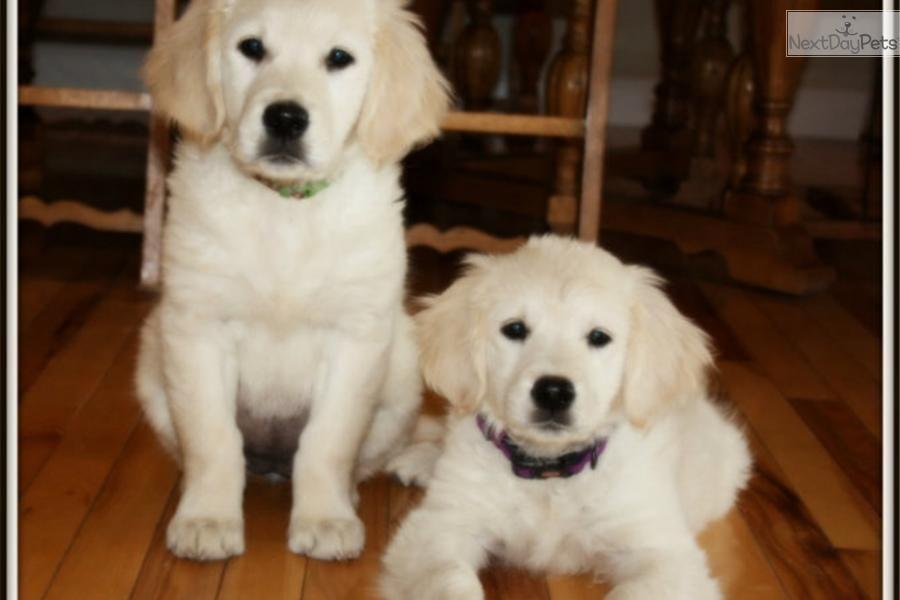 Meet Merry A Cute Golden Retriever Puppy For Sale For 2 500 Full