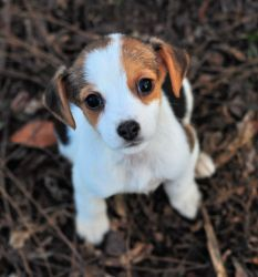 Adopt Crystal On Cute Dogs Chihuahua Dogs Dogs