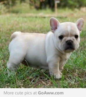 French Bulldog Puppy This Is What I Want For Christmas Too
