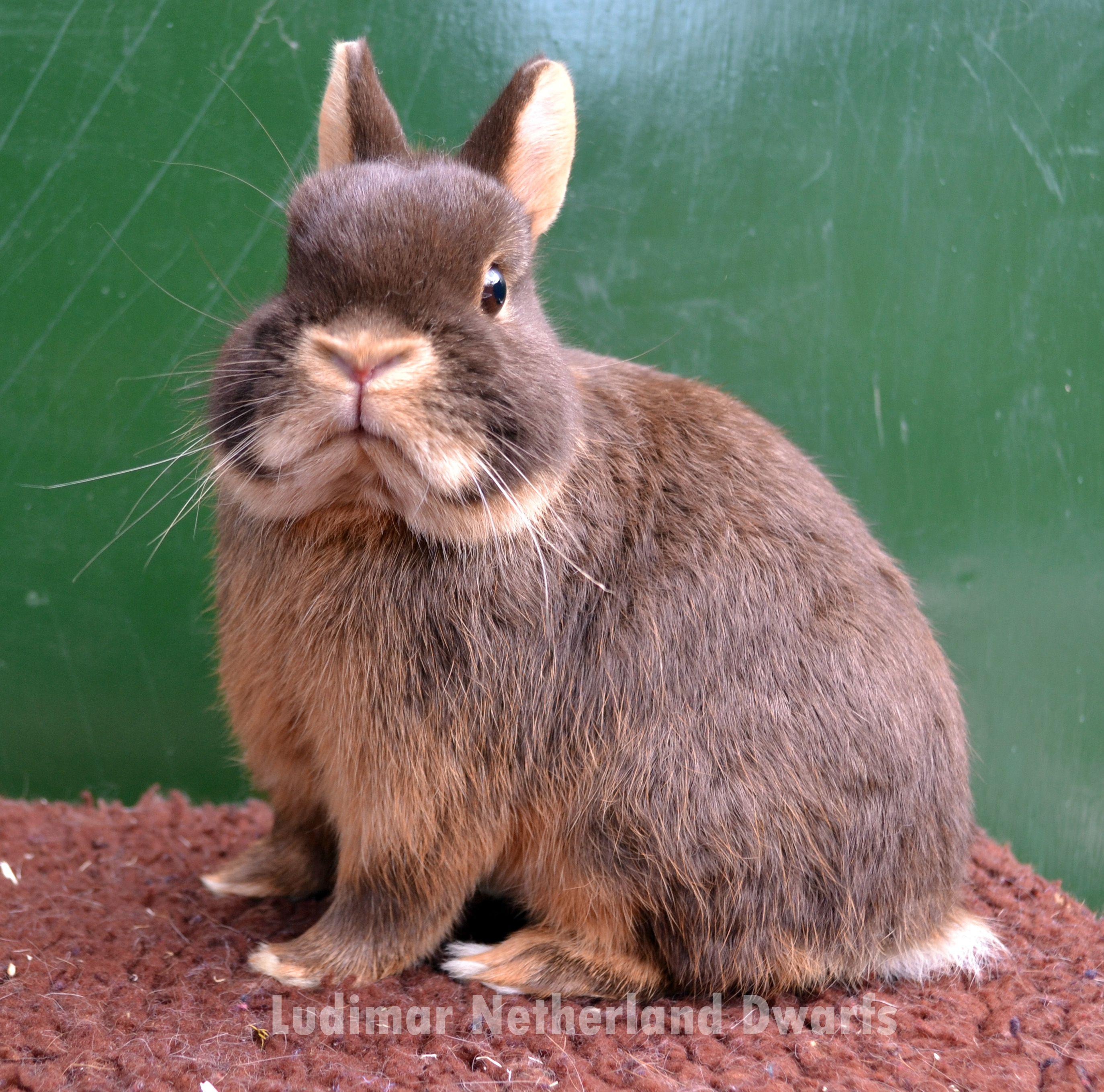 Pin on Ludimar Netherland Dwarf Rabbits