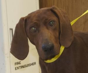 Bumpus Is An Adoptable Redbone Coonhound Dog In New Cumberland Wv Bumpus Is A Sweet Boy That Was Just Found Wander Dogs And Kids Animal Shelter Love Your Pet