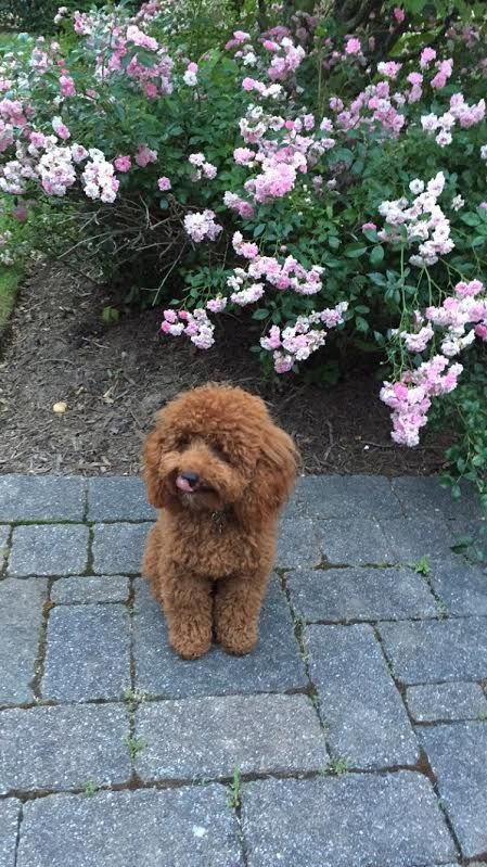 Red Mini Akc Poodle Now Lives In Ny From Scarlet S Fancy Poodles