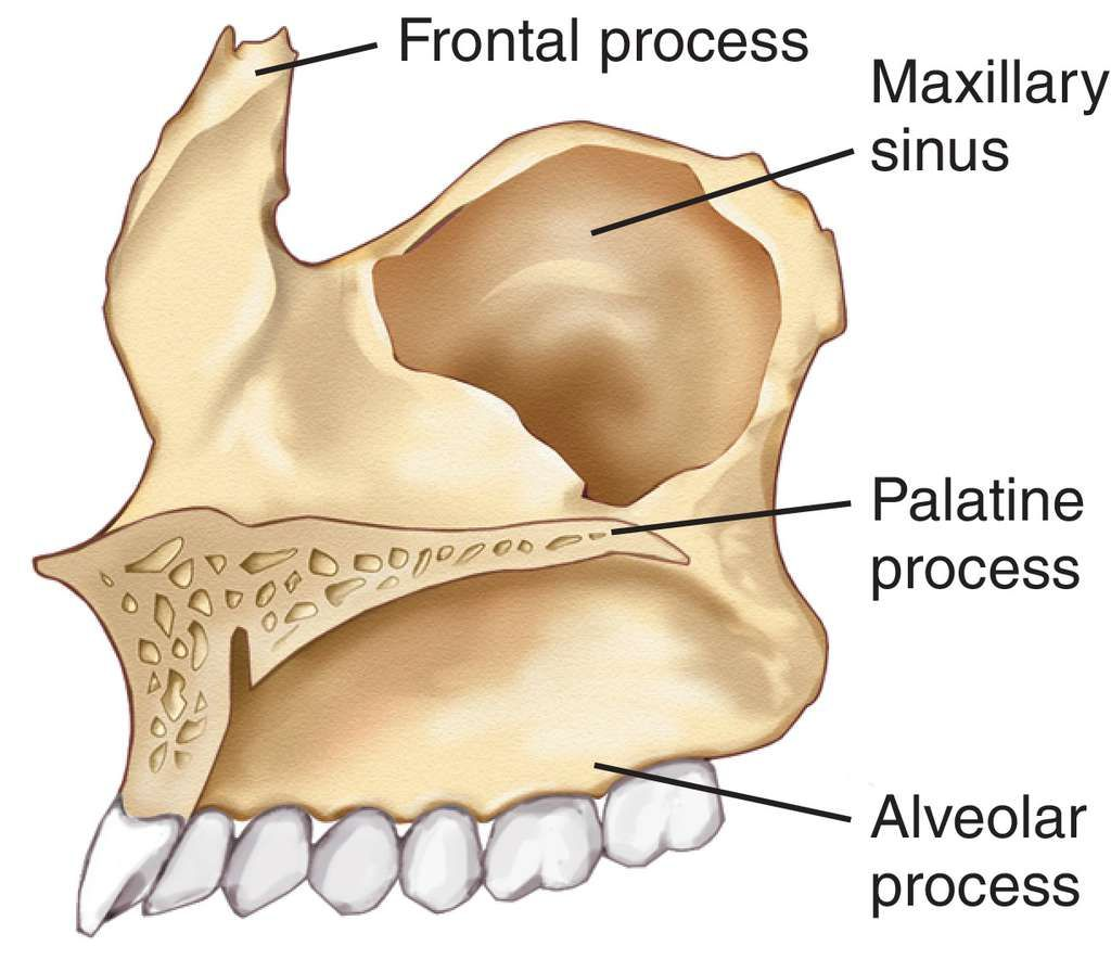 Maxilla Bone : Palatine Process; Alveolar Process | Sciences ...