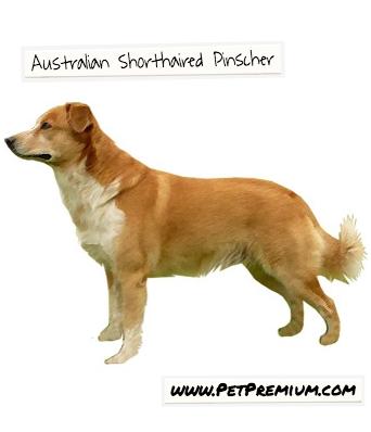 Australian Short Haired Pinscher Dog Petpremium Pinscher Dog Breeds Dogs