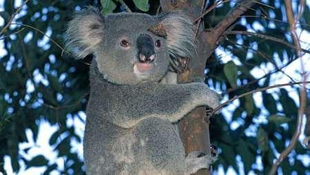 Australia, uccisi 700 Koala (AGI) - Sydney (Australia), 4 mar. - Sedati e poi uccisi, questa la sorte di 700 esemplari di Koala australiani.