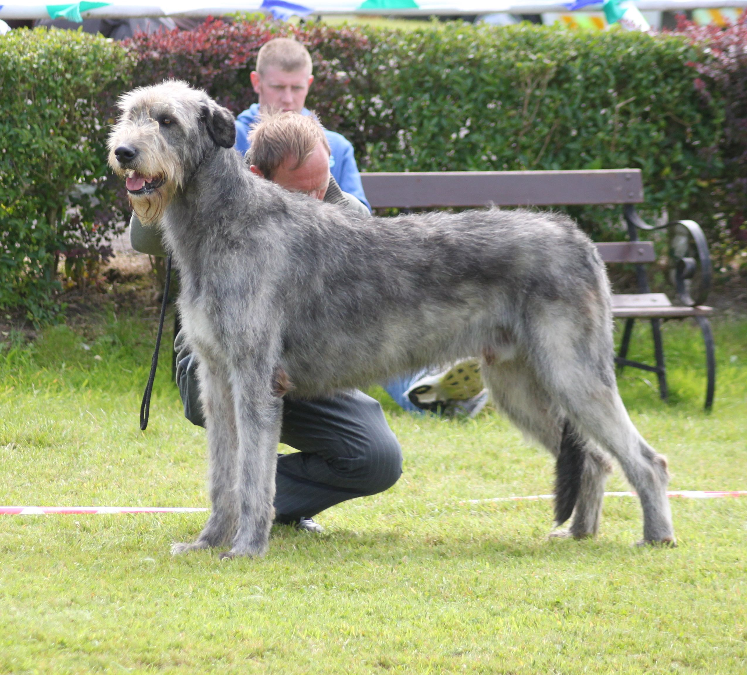 Irish Wolfhound Dog Breed Information, Pictures, Characteristics ...