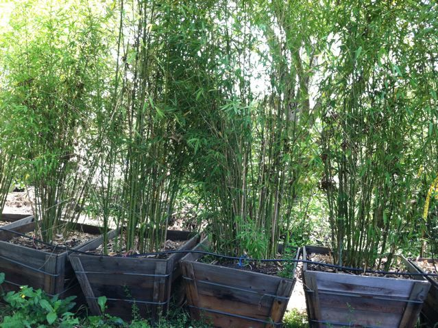 clump bamboo in planters to control growth