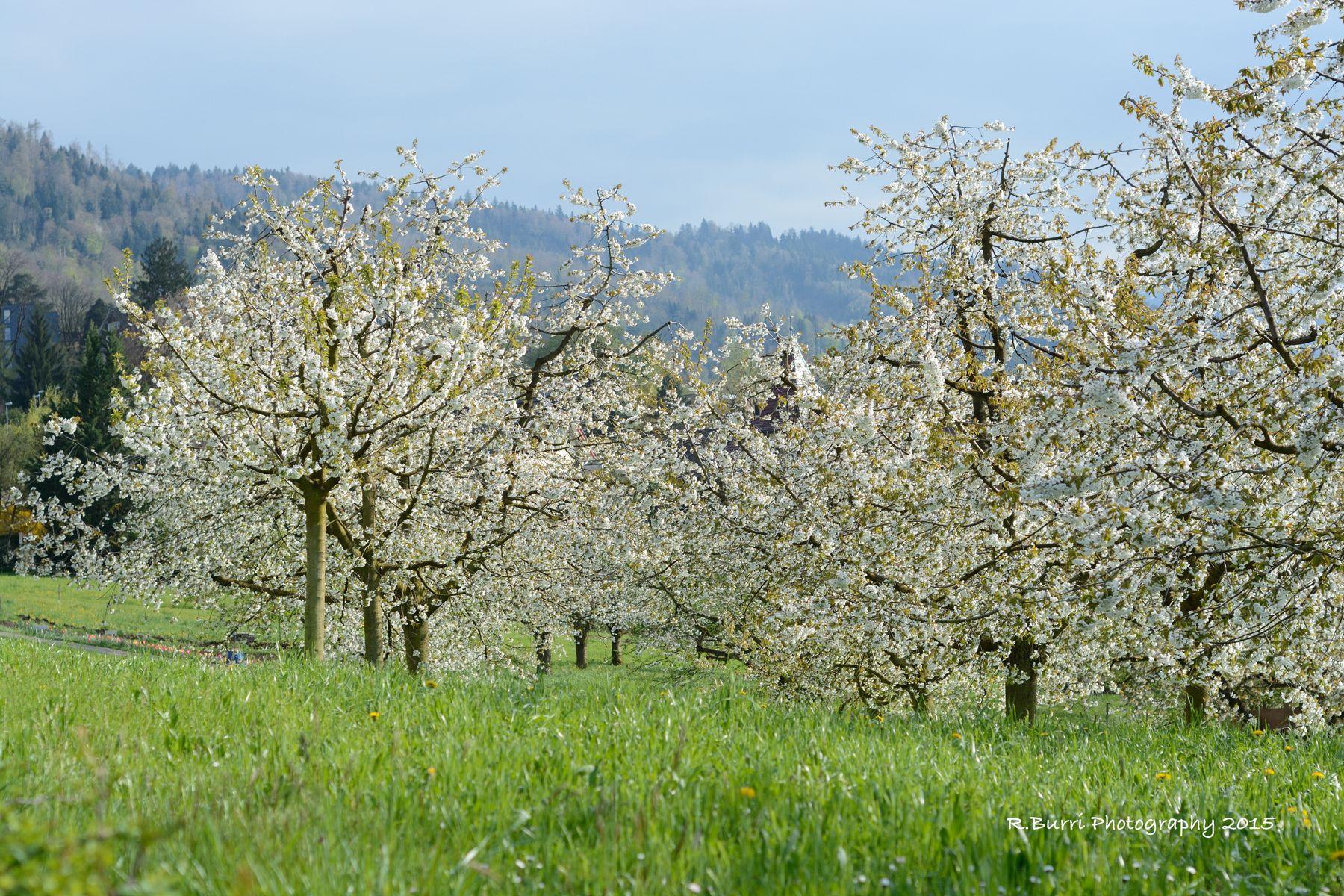 Blooming Cherry Trees in Zug, Switzerland