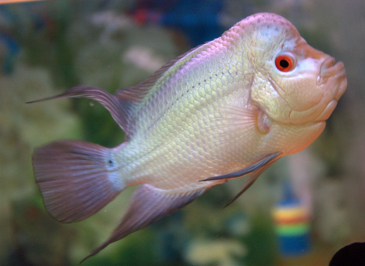 1000 Images About Flowerhorn On Pinterest Cichlids News
