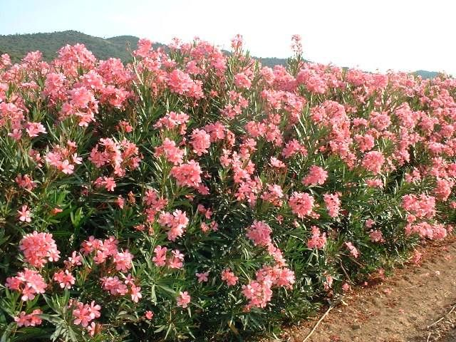 Laurier rose les haies de jardin pinterest haies de - Engrais pour laurier rose ...