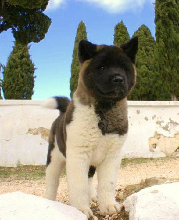 Pin By Jessica Mccourt On Animal Fanatic Akita Dog Akita