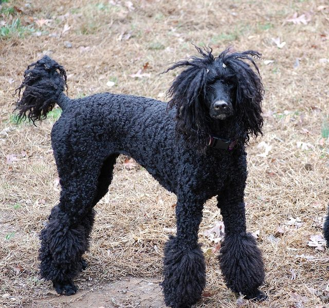 She S So Rock And Roll Standard Poodle Haircuts Black Standard Poodle Poodle Haircut