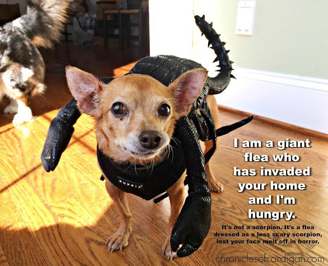 Would you rather be bitten by Dracula or a plague-infected flea? Think it's an impossible question? Read this post and learn why it's not (and why you should be afraid). Bonus: Dogs dressed as bad things! #ad #12bravecto @merckanimalhealth P.S. If you used BRAVECTO chewable flea/tick preventative for your dogs, you wouldn't have to worry about them getting bitten by disease carrying fleas.More info here…