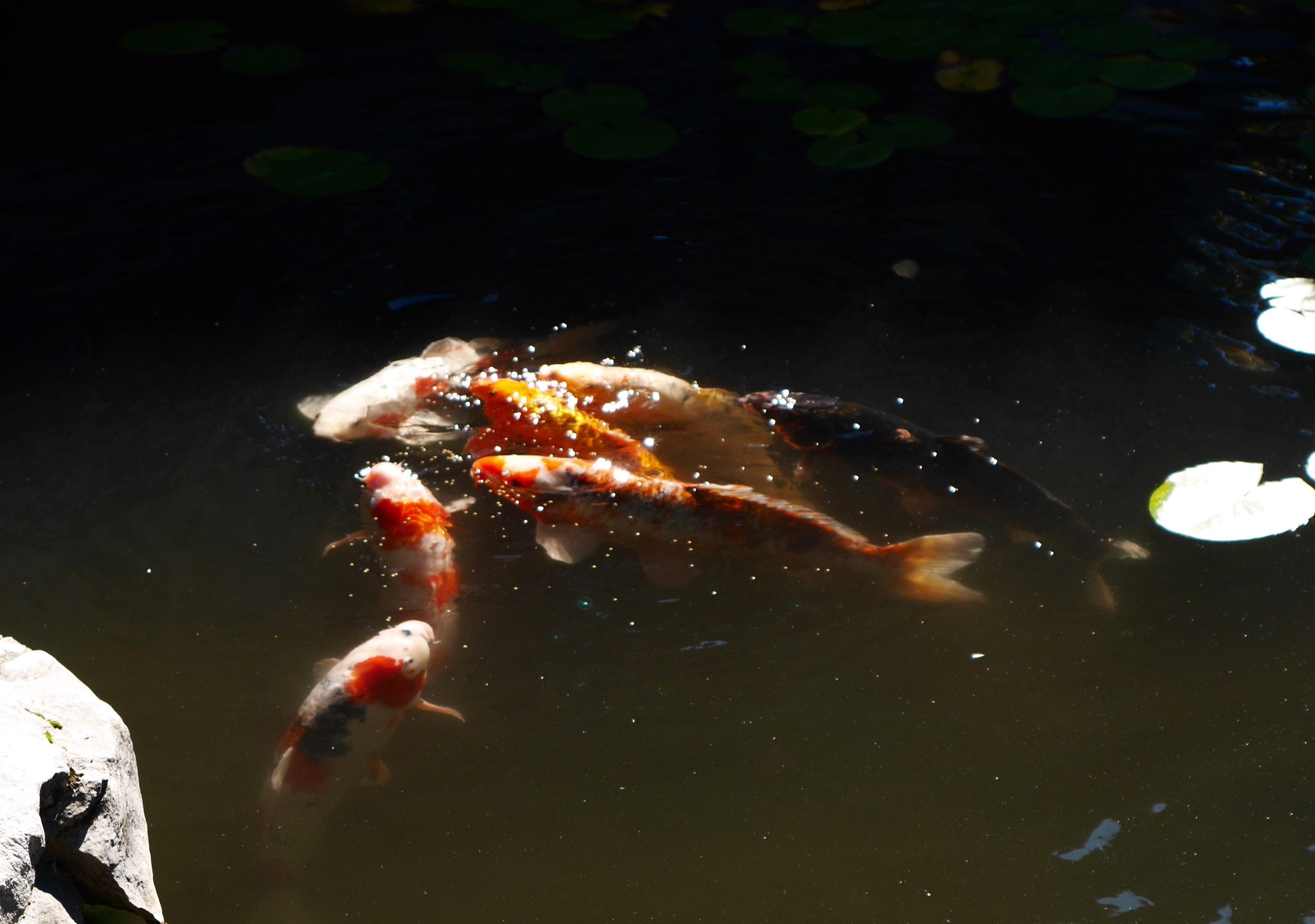 fish feeding - contrast of bright fish in murky water | SUN YET SEN ...