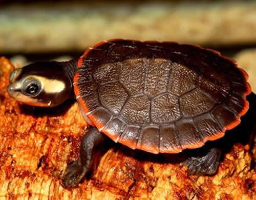 Red Belied Short Neck Turtle.