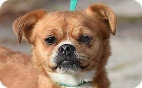 Image result for pug pug, Pug mix,