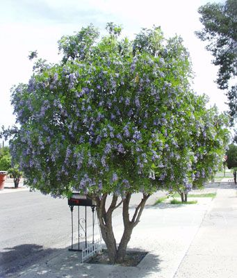 Texas Mountain Laurel Flowering Tree With Showy Drooping Cers Of Sweet Pea Shaped Violet