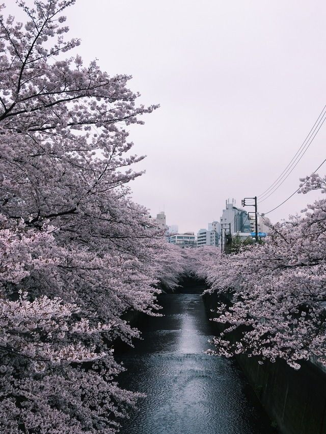 cherry blossoms in Tokyo / 東京の桜