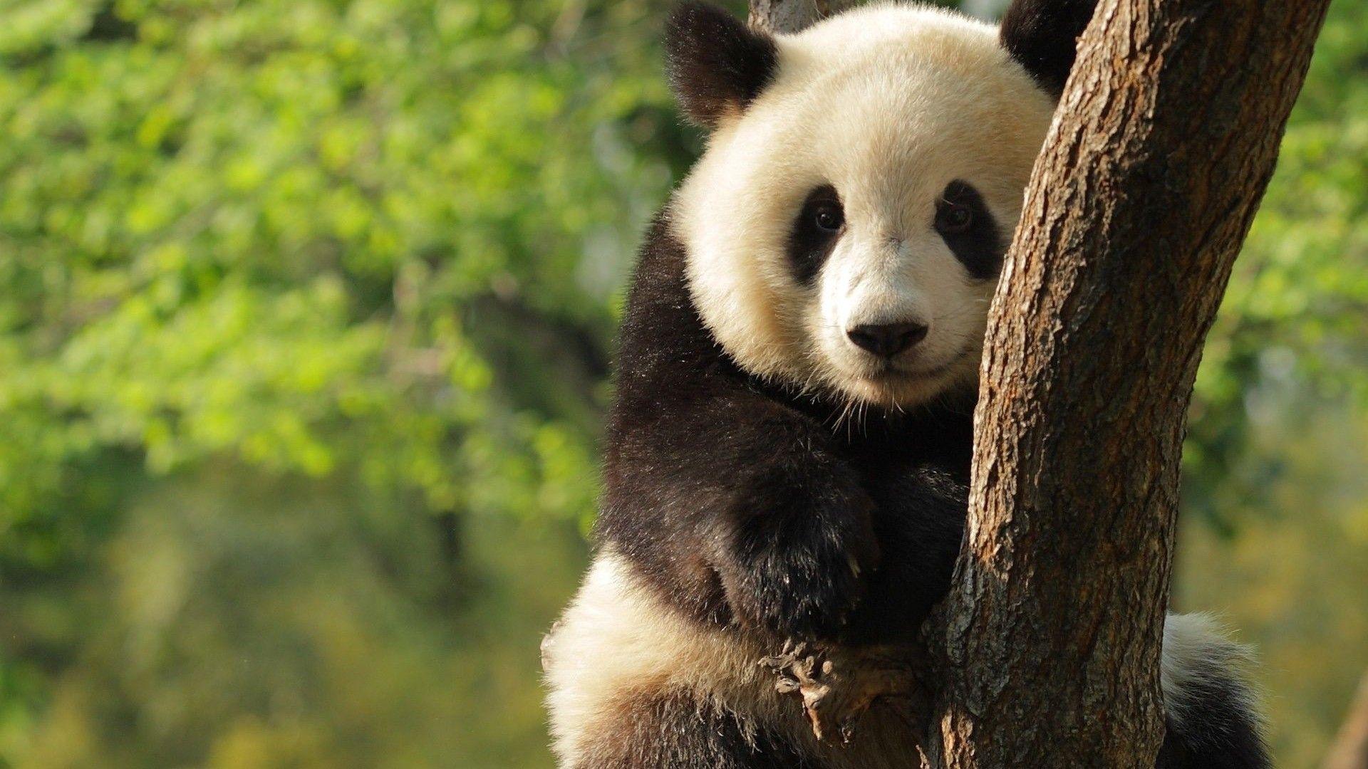 Giant Panda HD Wallpapers   Panda, Giant panda, Panda wallpapers
