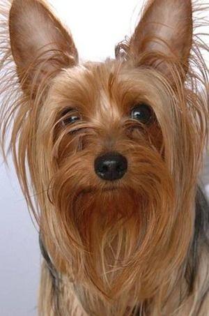 Yorkshire Terrier/「動く宝石」と呼ばれる犬☆|「Dog Safety 倶楽部 」のファンがつくるサイト