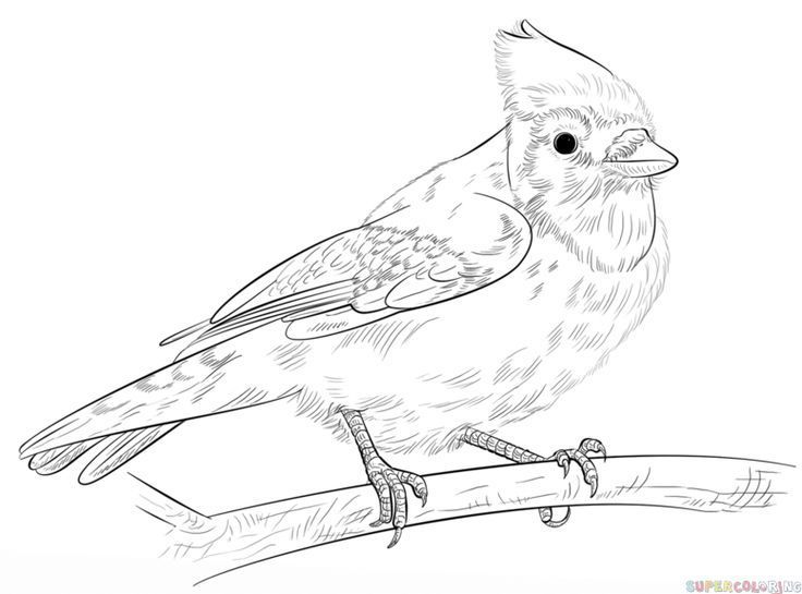 How To Draw A Realistic Cardinal 2019