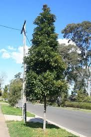 Image Result For Elaeocarpus Eumundi Garden Screening Landscape Garden Design