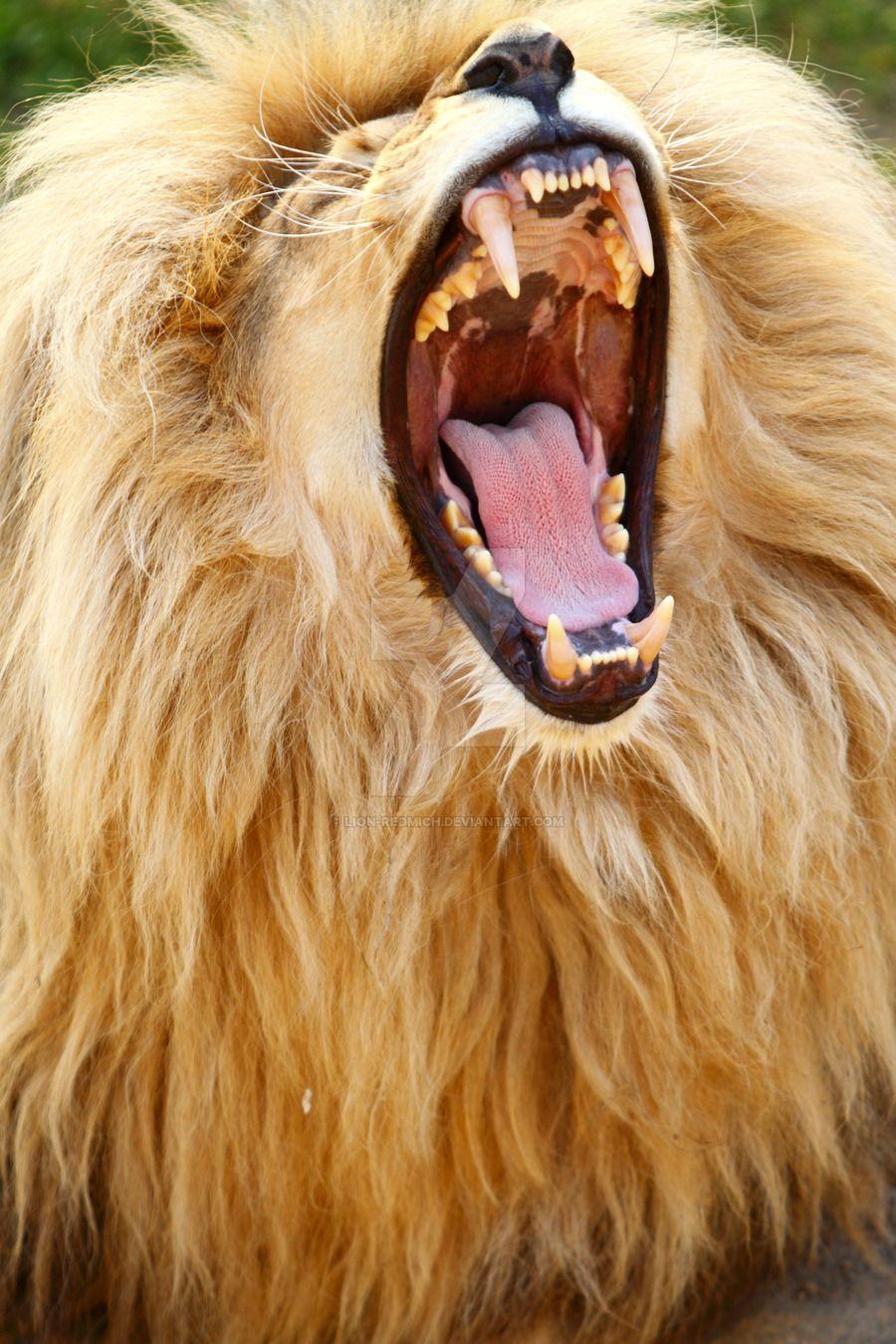 big_lion_mouth_by_lion_redmich-d56usbb.jpg (900×1350) | Bellezas de ...